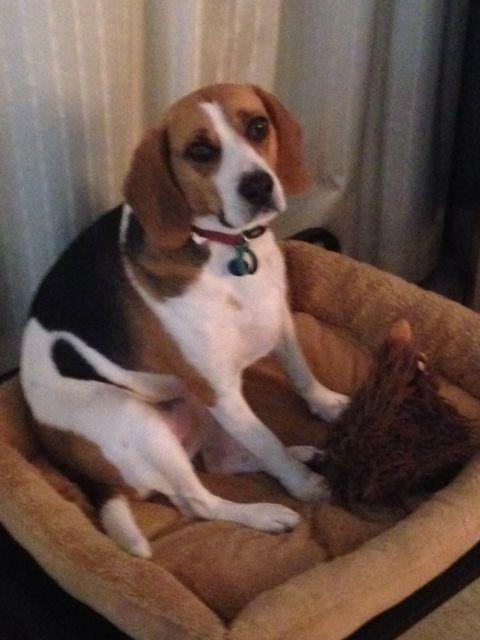 Regi beagle | Pawshake