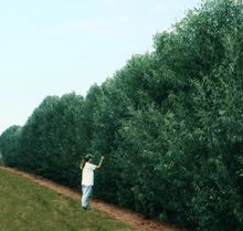 Willow Hybrid The Fastest Growing Privacy Hedge Trees You Can ...