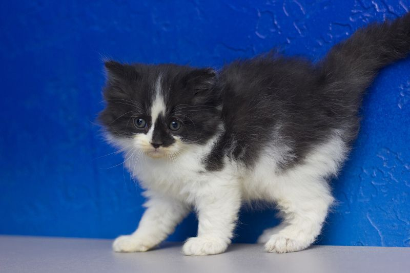 Samuel Black White Bicolor Solid Male Ragamuffin Kitten Ragamuffin Cat Ragdoll Kitten Ragamuffin Kittens
