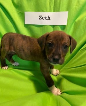 Zeth is an adoptable Dog Boxer Mix searching for a