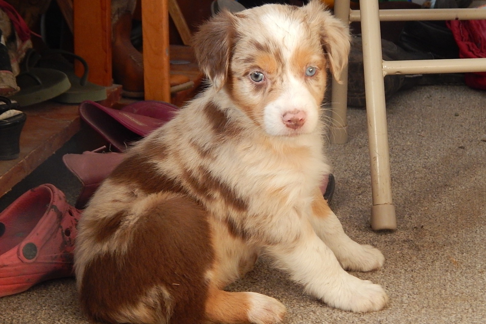 Sonrise Hill Farm Has Australian Shepherd Puppies For Sale