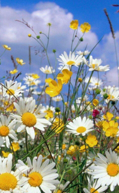 Полевые цветы | Фотографии природы, Луговые цветы ...