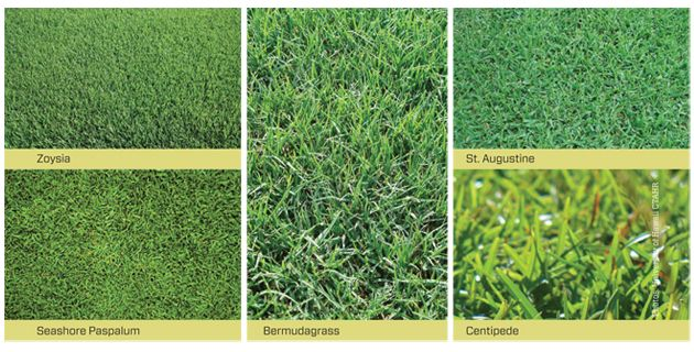 A Review Of Turfgrasses Used In Hawaii Warm Season Grass Centipede Grass Growing Grass
