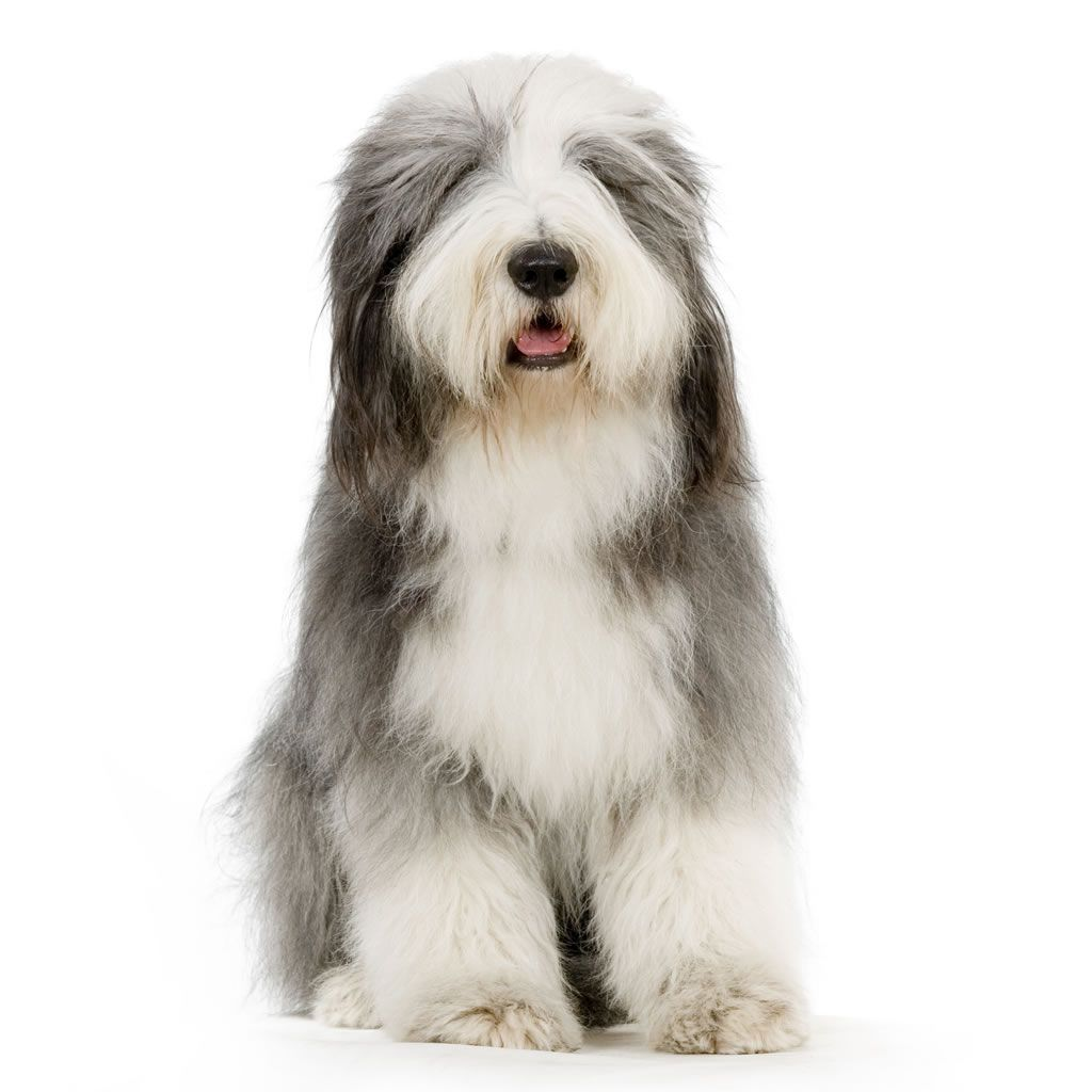 The Bearded Collie Is A Herding Dog From The Scottish Highlands