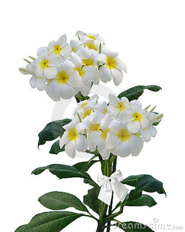 Plumeria do Frangipani Isolado Stock Image - Imagem: 14457571