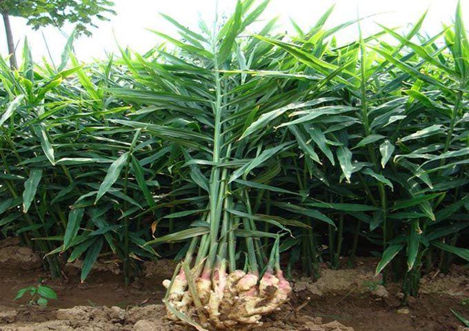 ginger plant Google Search Future Plants Pinterest Ginger