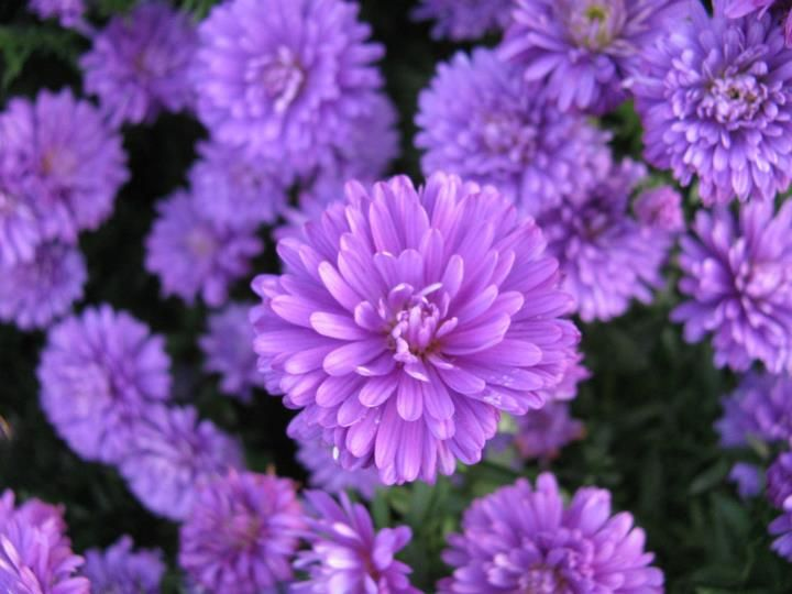 Aster Victoria Patience Types Of Flowers September Birth Flower Beautiful Flowers