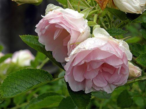'Ritausma'   Rieksta, Latvia 1963: Rosa rugosa 'Plena' x 'Abelzieds'.   Pensas on 150 cm korkea, kukka kerrannainen vaaleanpunainen.