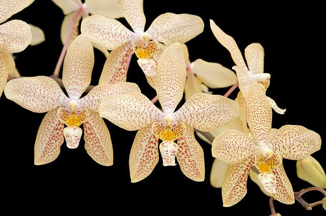 orchid renenthopsis | Recent Photos The Commons Getty Collection Galleries World Map App ...
