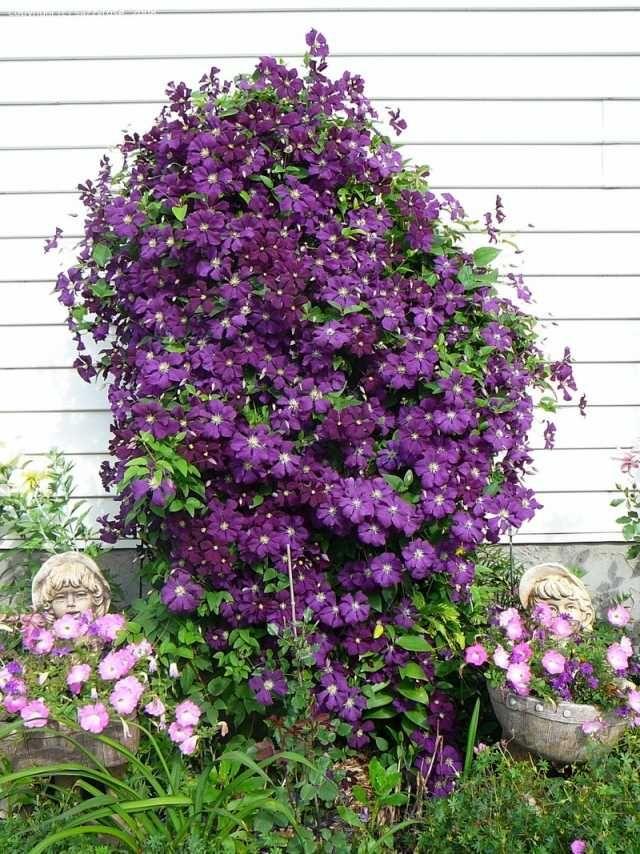 clematis pflegetipps schneiden lila deko haus fassade   blumen, Garten dekoo