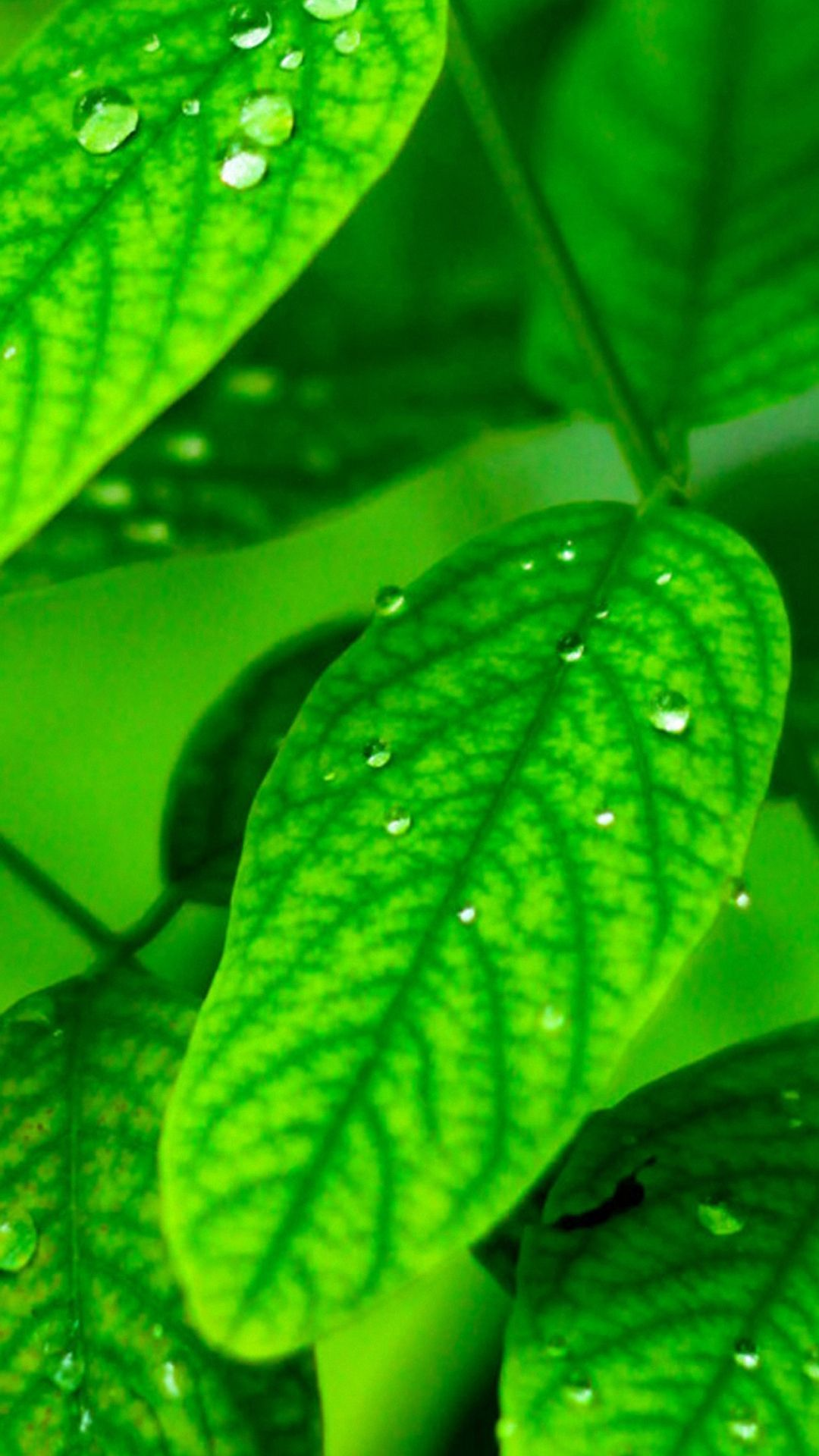 leave green plant water iphone 6 wallpapers HD Iphone 6