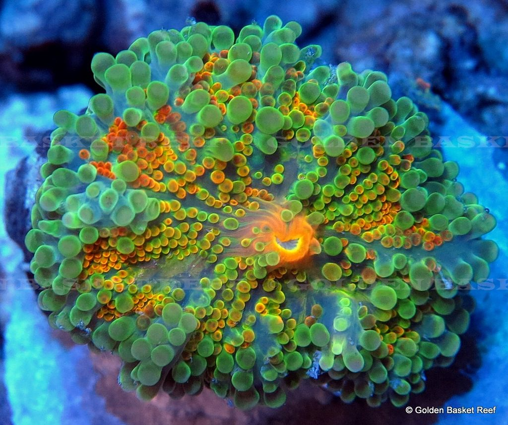 Live Coral Ultra Orange Spotted Green Ricordea Yuma Mushroom Saltwater Aquarium Fish Saltwater Tank Marine Aquarium
