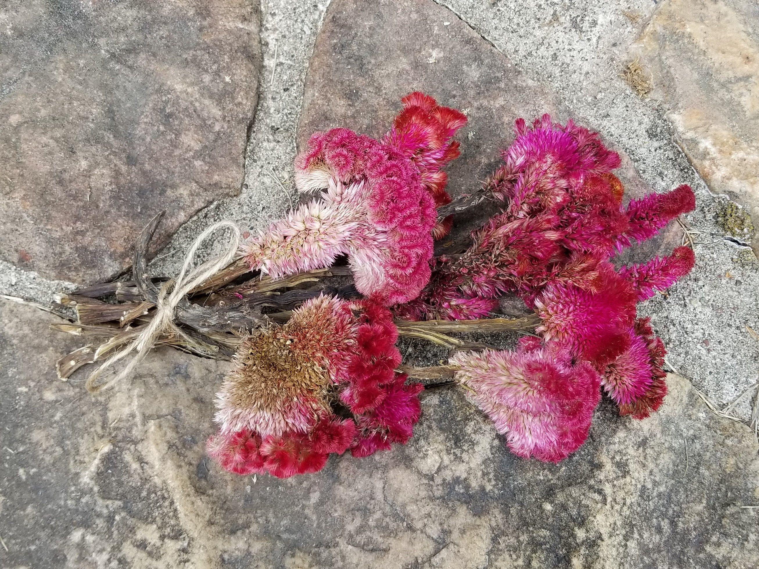 Dried Celosia Flower