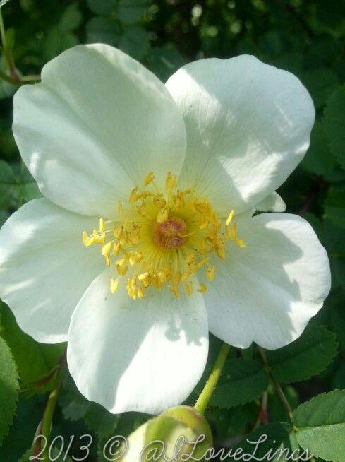 Lovely Rosa Spinosissima