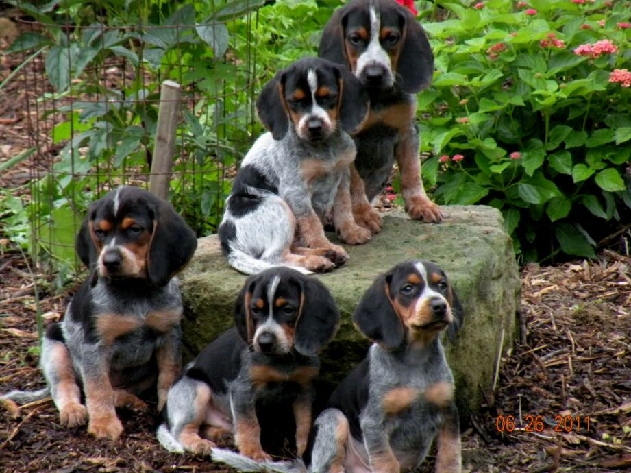 Bluetick Beagle Puppies Wonderful World Of Puppies Beagle