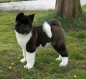 Next Dog I Want American Akita Akita Dog American Akita Akita Puppies