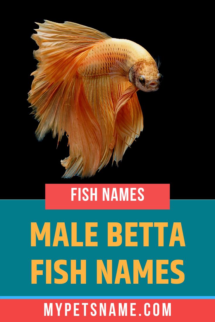 Male Betta Fish Names Betta Fish Beta Fish Names Betta