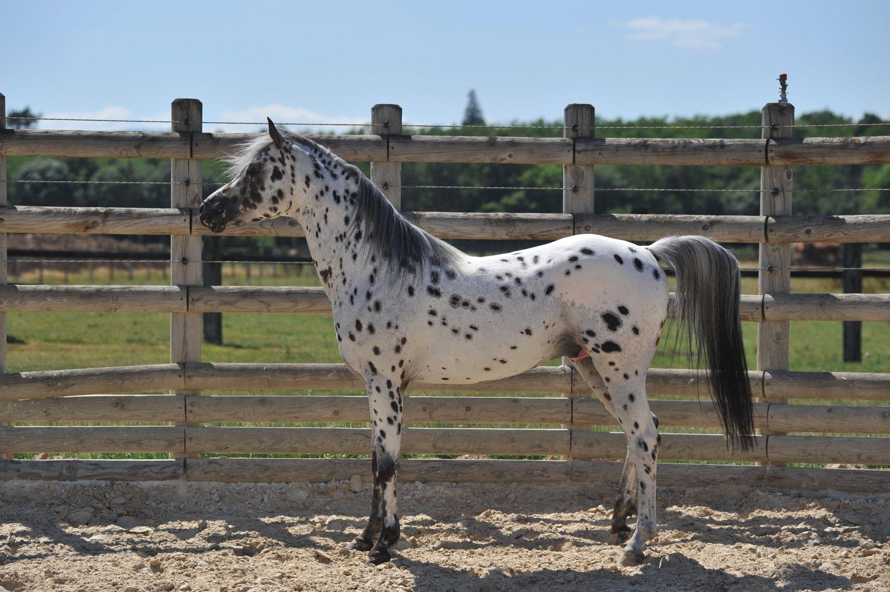 Pictures Videos Beautiful Arabian Horses Appaloosa Horses Beautiful Horses [ 1211 x 1820 Pixel ]