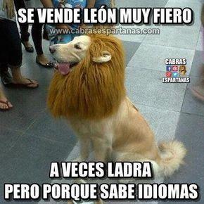 Vendo Leon Muy Fiero Y Con Idiomas Disfraces Para Perros Mascotas Fotos De Perros Graciosas