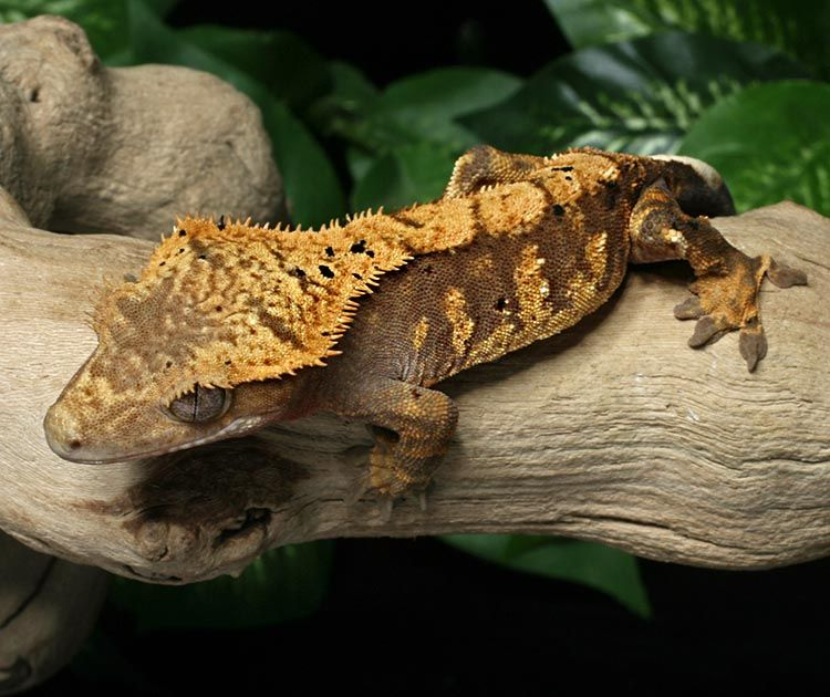 Crested Gecko for sale Bz92   Geckos of every kind
