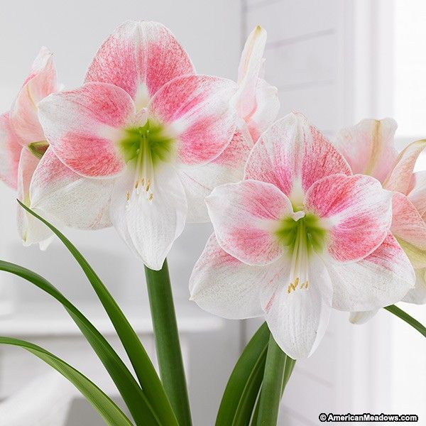 Towering beauty Rosy Star Amaryllis is gorgeous with its white large flowers dusted with a sweet pink hue.  Plant Rosy Star indoors during winter months and expect blooms in 6-10 weeks.  It's a great variety to welcome the winter months and or to send as a gift.  Place in a sunny room and watch as Rosy Star soars to bloom.  (Hippeastrum)