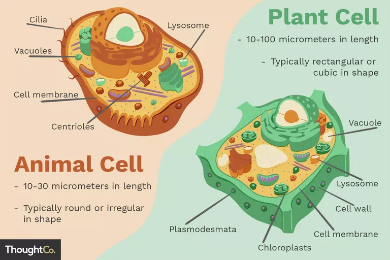 Differences Between Plant and Animal Cells in 2020 | Plant ...