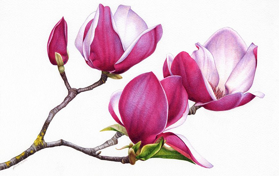 Magnolias Flower Painting Watercolor Flowers Pink Flower Painting