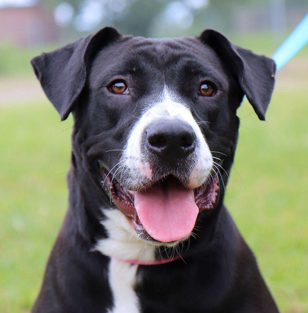 Adopt Momona on American bulldog mix, Dog list, Funny
