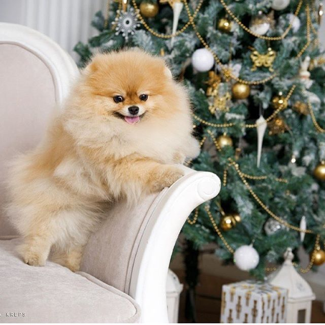 Pomeranian Dog Breed Information Cuteness Pinterest