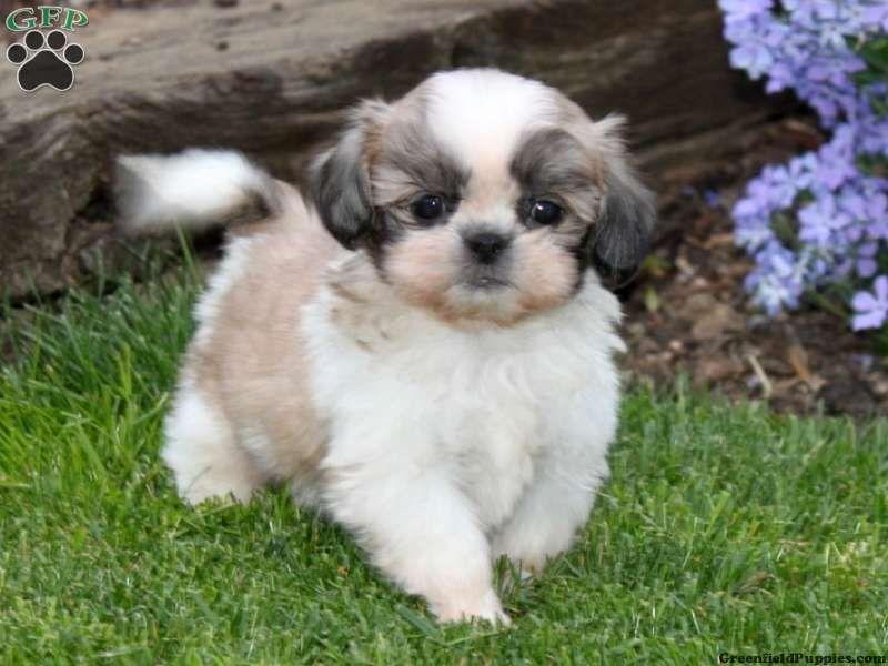 Shih Tzu Puppies Nj Widescreen 2 HD Wallpapers
