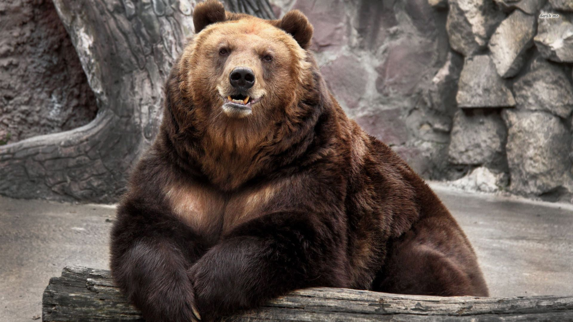 bear - google search | animals | pinterest | hd wallpaper, wallpaper