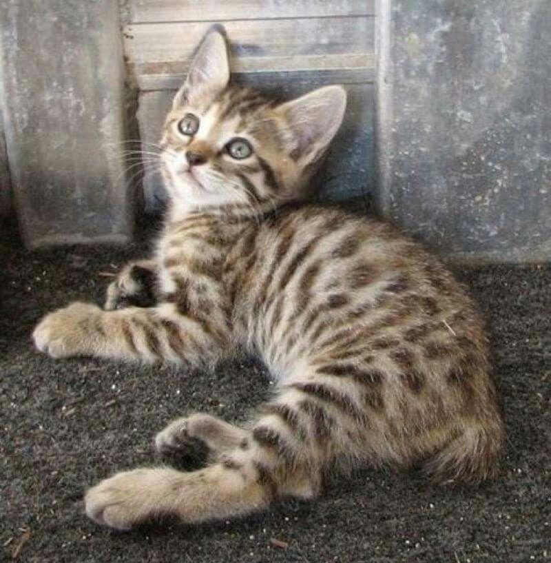 Lil Boo Cats Kittens Kittens Cutest