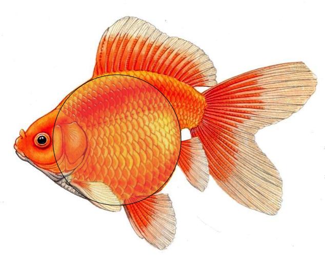 Ryukin The Goldfish Council Goldfish Art Goldfish Beautiful Fish