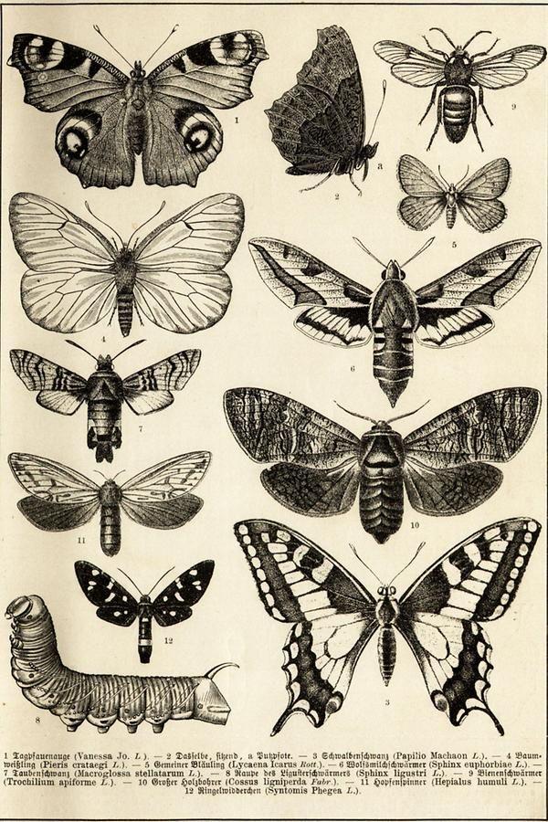 Schmetterlinge Tafel I Schmetterling Illustration Illustration Zeichnungen