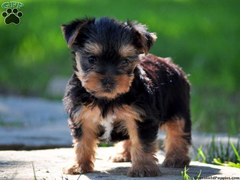 Olivia yorkie puppy for sale in gap pa yorkie puppy