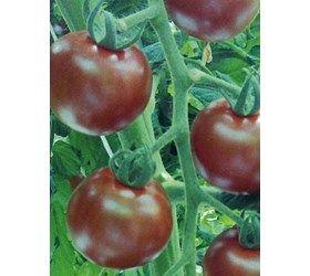 Tomat ''Sunchocola F1 cherrytomat
