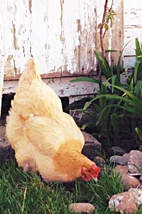 Lavender Orpingtons Yes Lavender Lavender Orpington Chickens Chickens Pet Chickens