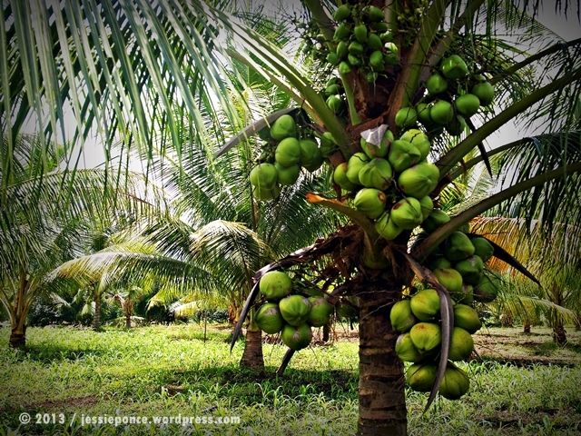 Tropical Fruits Facts and Legends Coconut The Tree of