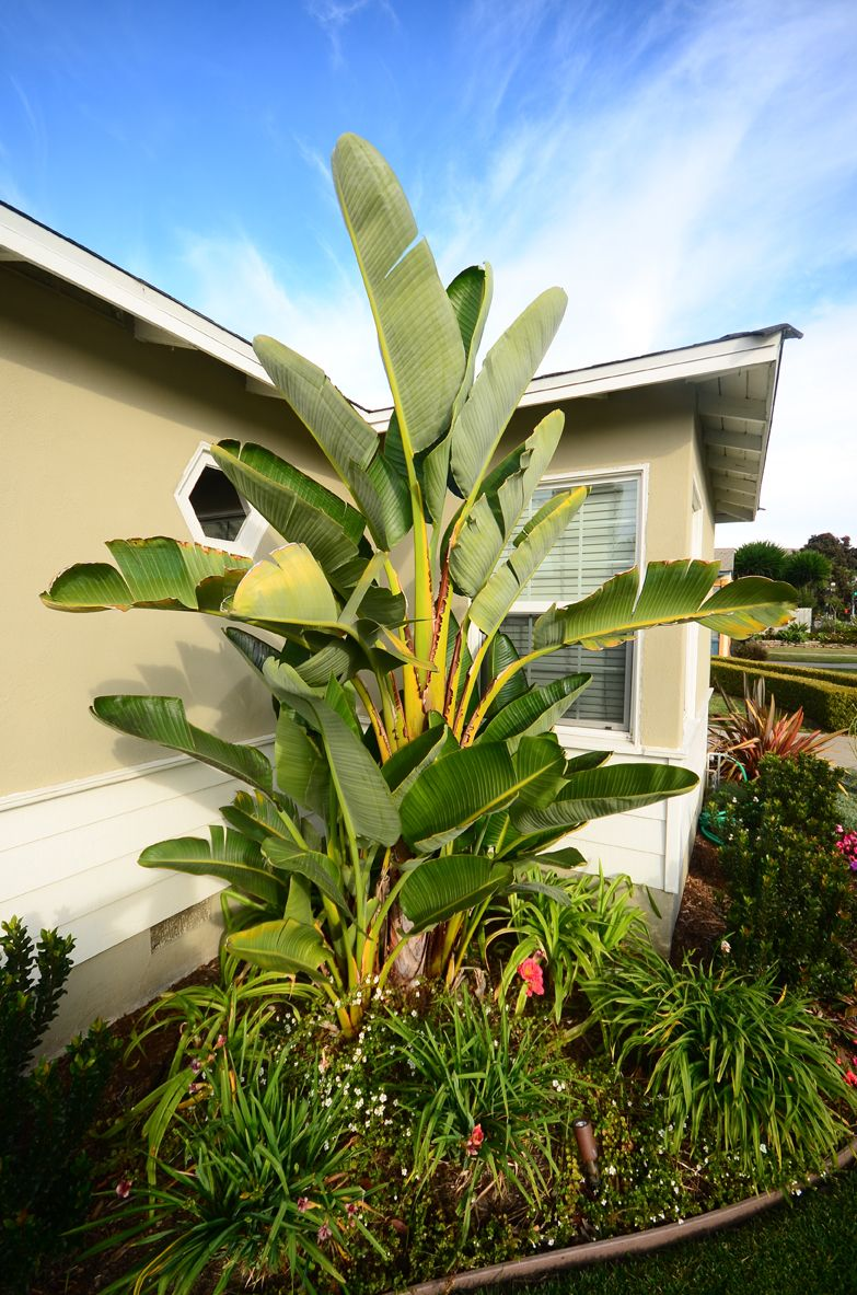 Tropical Plants, Bird of Paradise, California, Landscaping. What a ...