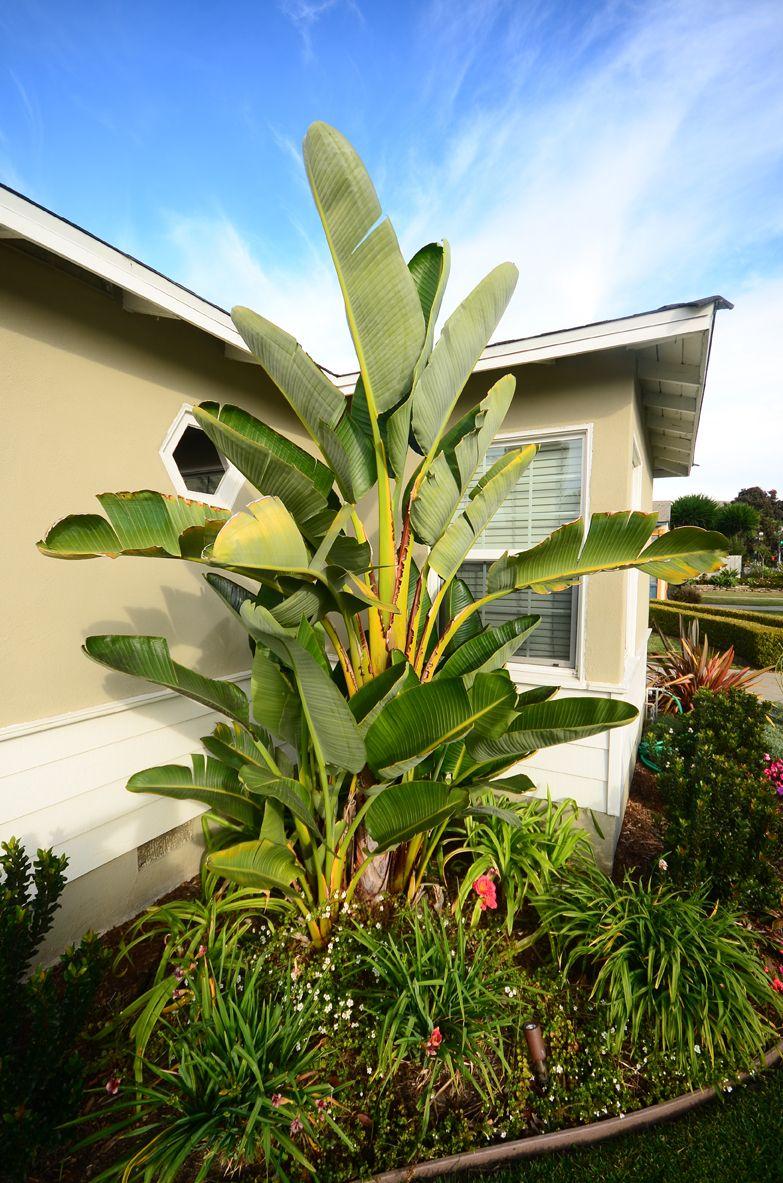 Tropical Plants, Bird of Paradise, California, Landscaping ...