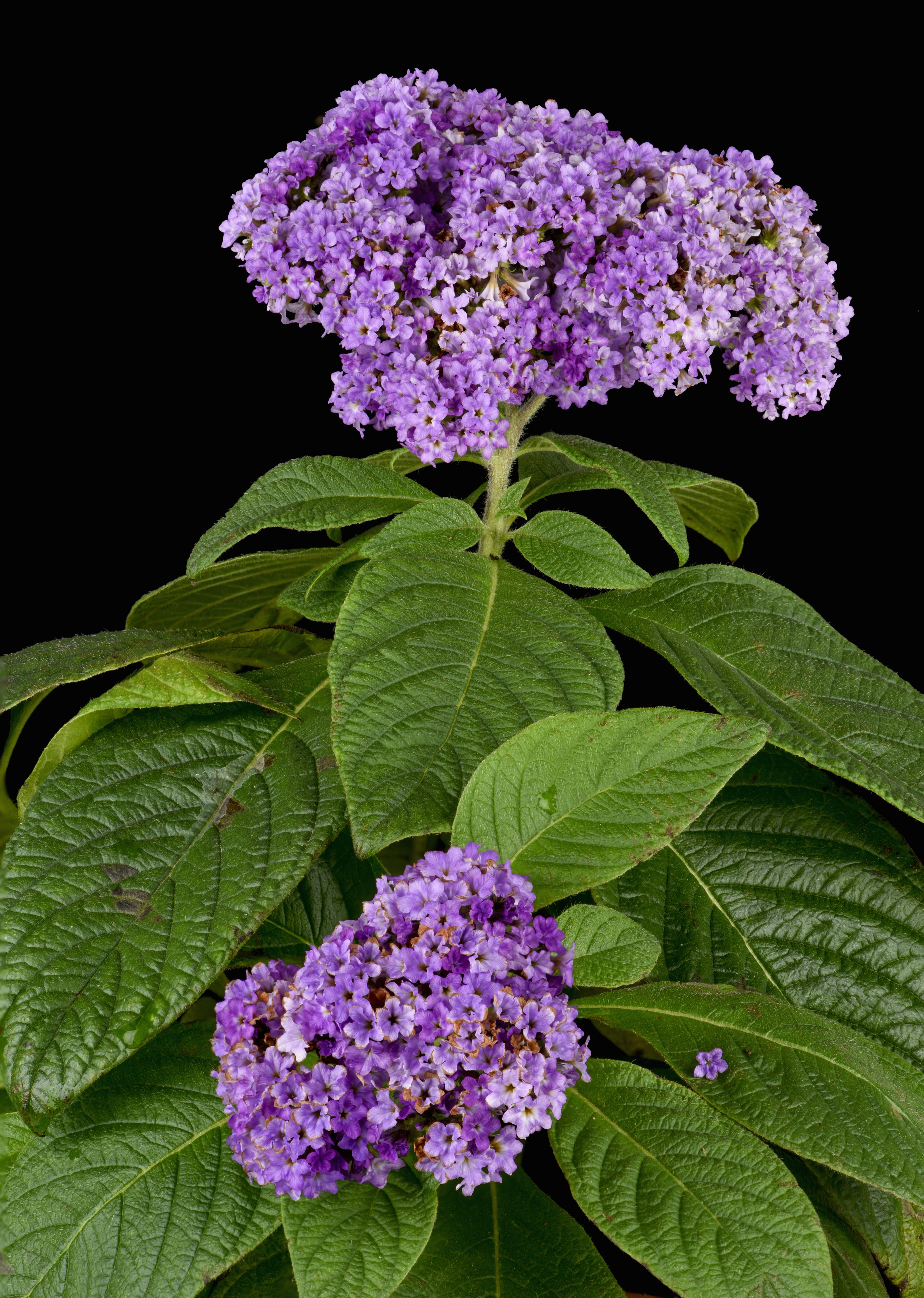 Heliotrope - flowers with the aroma of cherry pie