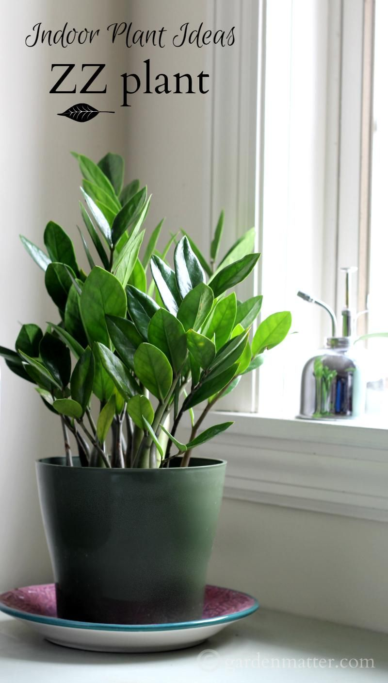 Indoor plant ideas the zz plant plants houseplant and for Easy care large indoor plants