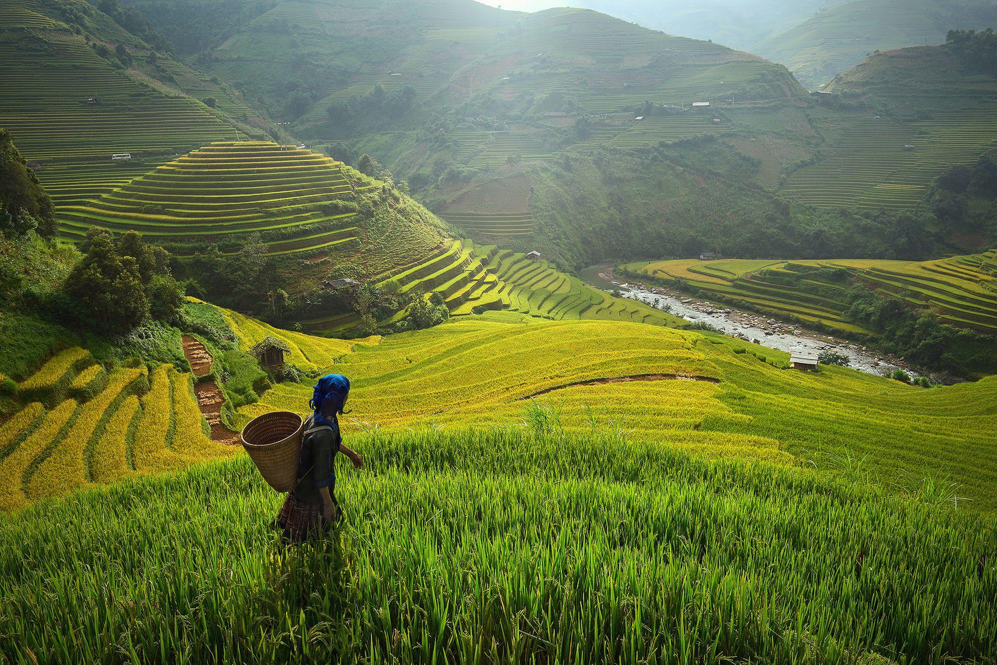 Golden Rice Fields In Mu Cang Chai (Mù Cang Chải, Yên Bái