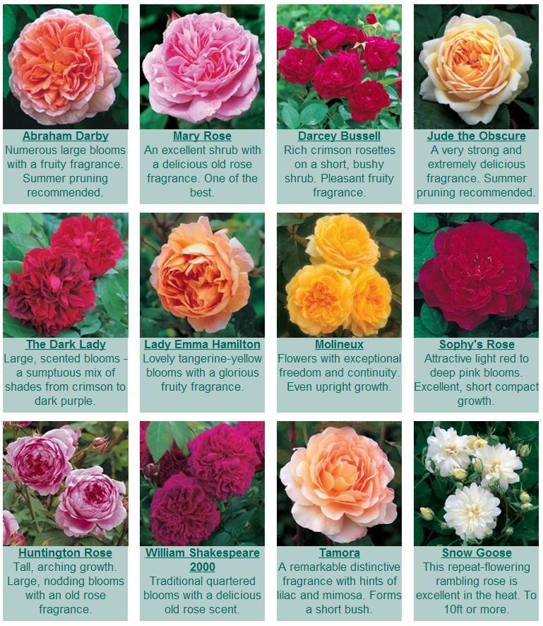 Roses For Hot Zones Cold Zones David Austin Roses Usa David Austin Roses Shrub Roses Rose Garden Design
