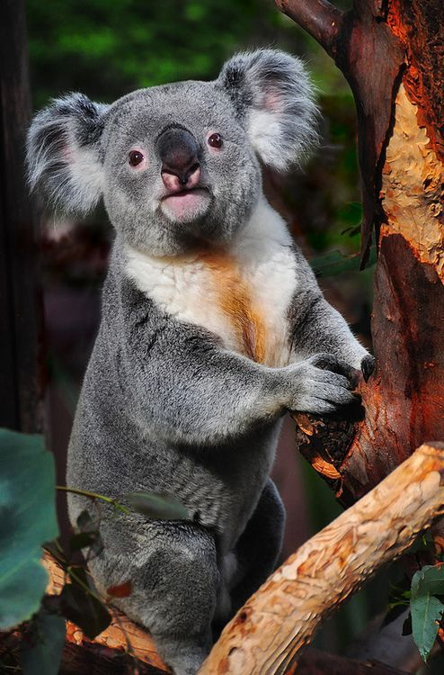 Inquisitive Koala by Bill Gracey (With images) Happy