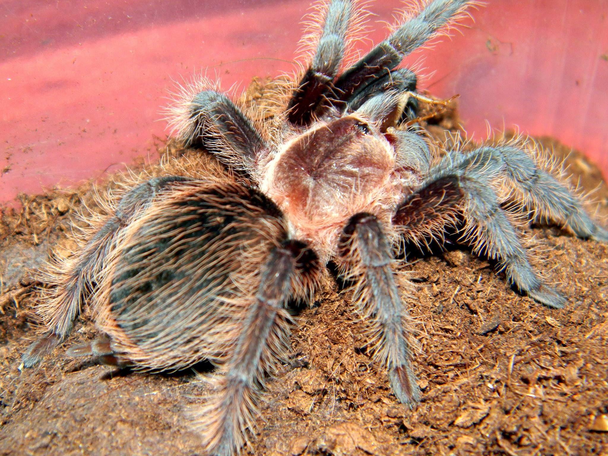 B Albopilosum Tier Fakten Vogelspinnen Spassfakten