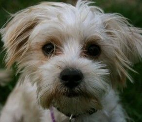 Adopt Preston On Maltese Dogs Terrier Mix Dogs Yorkshire Terrier