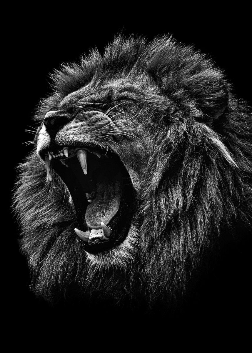 Angry Lion Black And White Metal Poster Mk5 Studio Displate Lion Photography Black And White Lion Lion Images