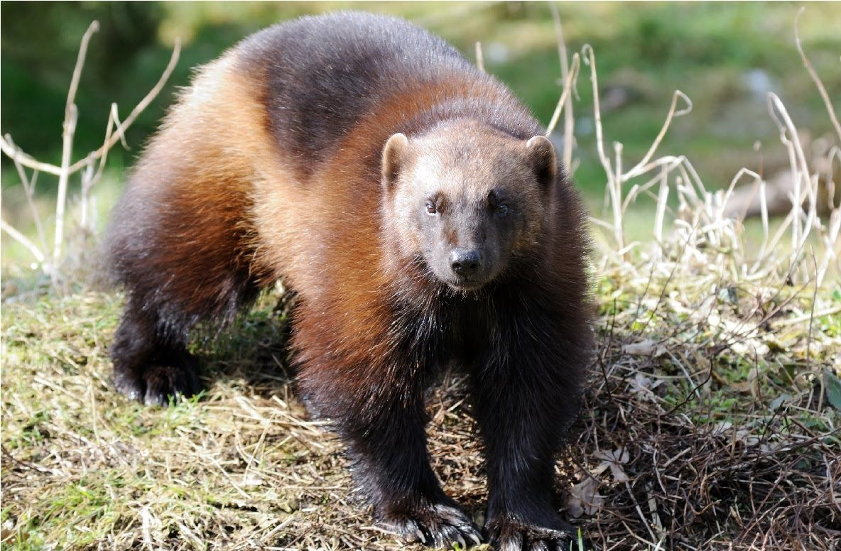 Amazing Facts About Wolverines....Day 120 Wolverine