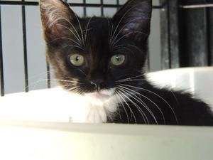 Adopt Kitten Blackberry On Short Hair Cats Kittens Cats